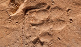 Ancient Puppy Paw Prints Found on Roman Tiles