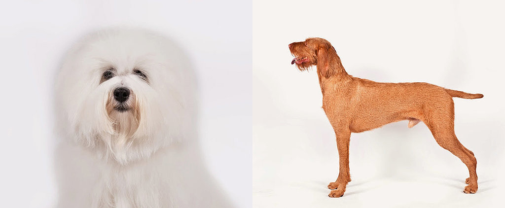 American Kennel Club Recognizes 2 New Breeds