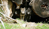 First Litter of Wild Wolf Pups Born in Mexico