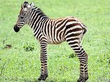 RIP Society: Zebra Steaks Are Now The Other White Meat