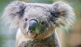 Koala Survives Terrifying Ride Clinging to Car