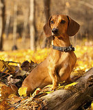 10 Cool Facts About Dachshunds