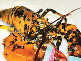 Man Finds Rare Calico Lobster, Gives It to New Hampshire Aquarium (PHOTOS)