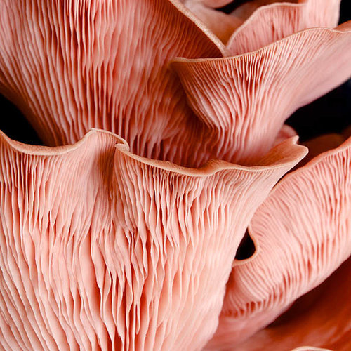How To Grow Your Own Pink Mushrooms