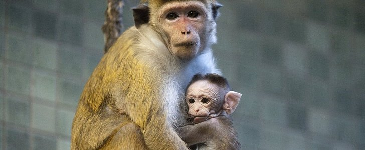 Sweet Baby Macaque at the Berlin Zoo