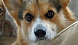 20 Super Serious Corgis