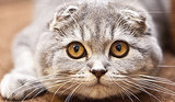 10 Scottish Fold Cat Facts