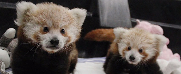 You've Never Seen Baby Red Pandas This Adorable