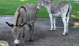 Frisky Donkey Couple: 1, Prudes: 0