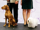 2015 Westminster Show to Include 2 New Breeds
