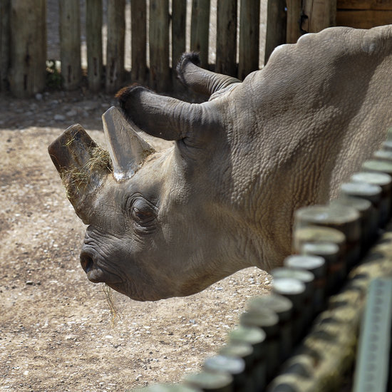 """The Northern White Rhino """"Now Stands at the Brink of Complete Extinction"""""""