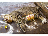 Cat Gets Drunk to Avoid Antifreeze Poisoning (No, Really)