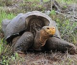 Giant Tortoise Makes Big Comeback