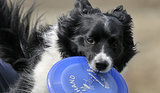 10 Cool Facts About Border Collies