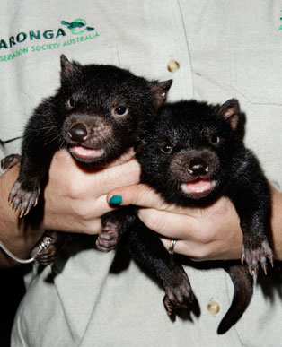 Four Cute Tasmanian Devil Babies Born at the Taronga Zoo!