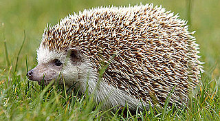 Adorable Hedgies Just May Rub Off on You: In the LINK of an Eye!