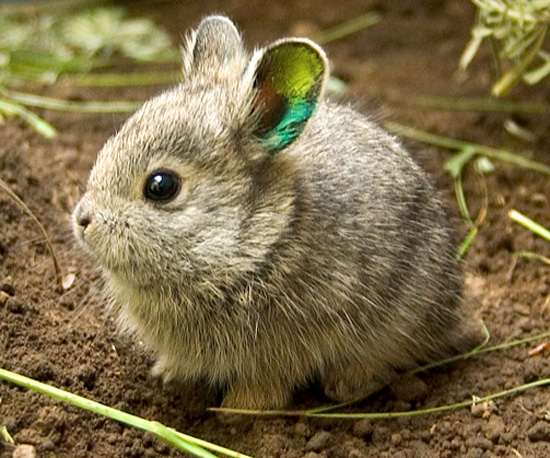 "Year of the ""Threatened Rabbit"": World's Smallest Rabbits Fight Extinction"