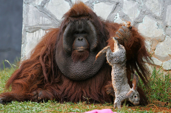 No Bunny Was Harmed in the Shooting of These Orangutan Pics