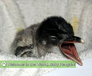 Welcome to the World, Baby Penguin!