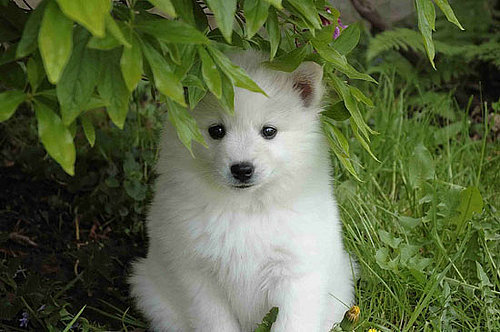 What Do You Know About American Eskimo Dogs?