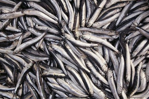 Would You Rather Eat Anchovies or Sardines?