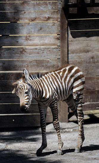 Primo, the Primo Zebra