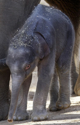 Baby Elephant At Taronga Zoo!