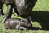 Photos of a Baby Pygmy Hippo Born in Scotland 