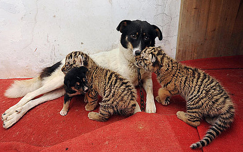 Dog Nurses Baby Lion and Tiger Cubs back to Health