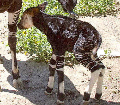Ever Seen or Heard of Okapis?