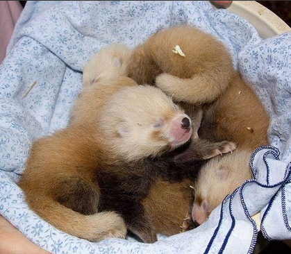 Red Panda Quadruplets At Denver Zoo!