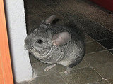 Popular Pet Chinchilla Names