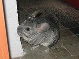 Popular Pet Chinchilla Names