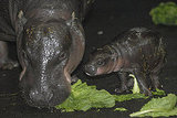 Peep Even More Pygmy Hippo Pics!