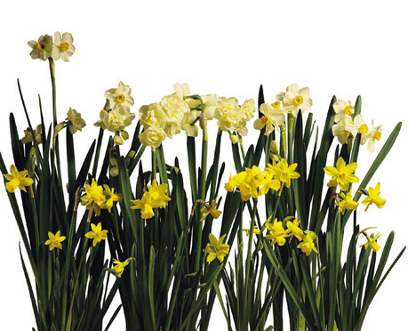 Plant daffodils, crocus, and tulips now for gorgeous Spring color.