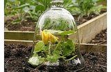Cloches were originally used by the French  to protect plants from frost, and to help them develop more quickly. This would hasten their crops to maturity.  Source