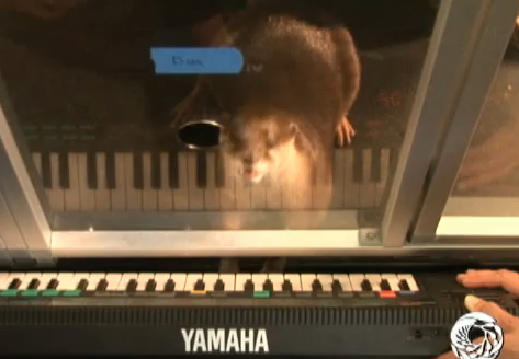Cute Alert: Freshwater Otter Plays the Keyboard