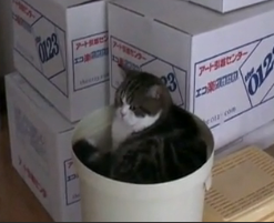 Maru the Box Cat Still Playing With Boxes