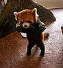 Cute Alert: Red Panda on Tippy-Toes