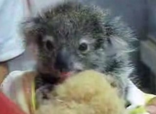 Cute Baby Koala Loves Her Blankie