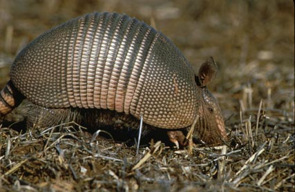 Armadillo Creature Features on Petsugar