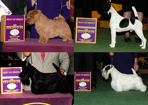 2008 Westminster Winners: Terrier Group
