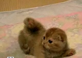 Cute Alert: Scottish Fold Kitty Frolicking With Glee