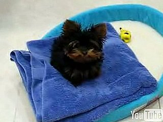Cute Alert: Baby Yorkie Wants a Word With You