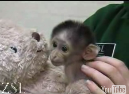 Cute Alert: White Naped Mangebay Baby Loves Her Teddy Bear