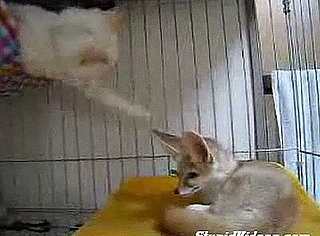 Cat Annoys Fennec Fox