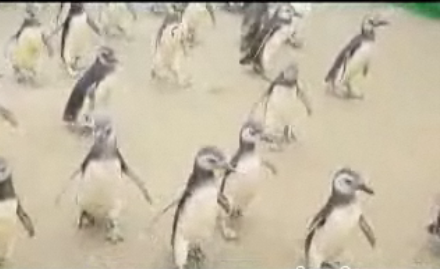 Cute Alert: Rehabbed Penguins Get Released!