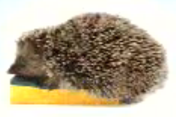 Horny Hedgehog Sells a Sponge