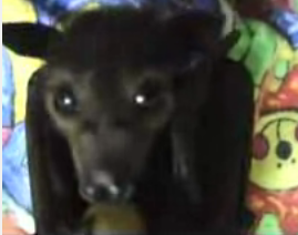 Baby Fruit Bat Feeds on Fruit