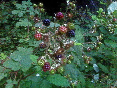 It's Blackberry Season!